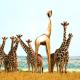 Gouden Giraffe foto